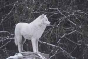 Le loup blanc (C) Philippe Montes - Unsplash